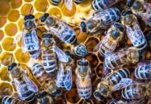 Ohne Bienen kein Weihnachten