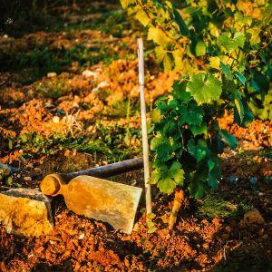 Plantation de la vigne de Sauvagny.