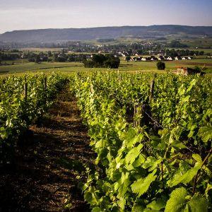 La vigne à Villette-les-Arbois