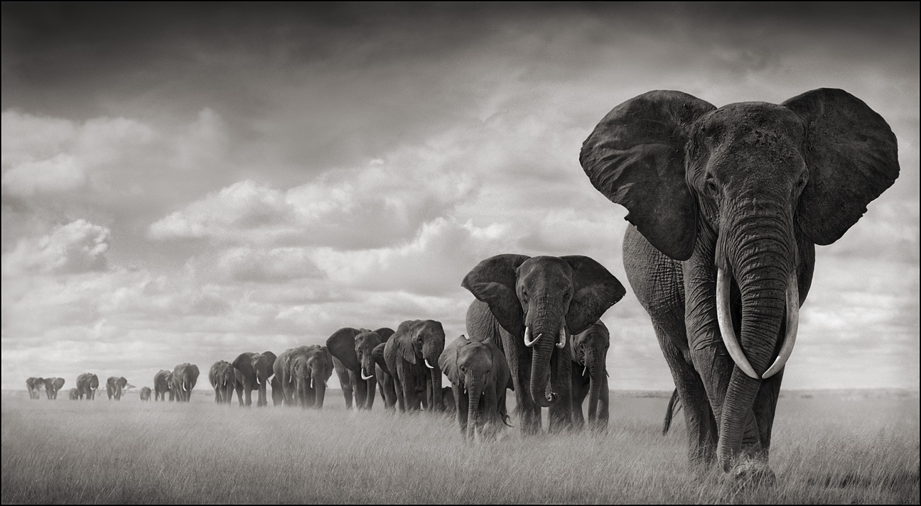 https://i1.wp.com/www.pug.no/wp-content/gallery/nick-brandt/elephants-walking-through-grass.jpg