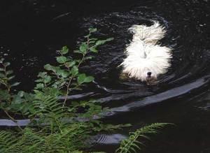 Puli Treffen Haltern im Wasser