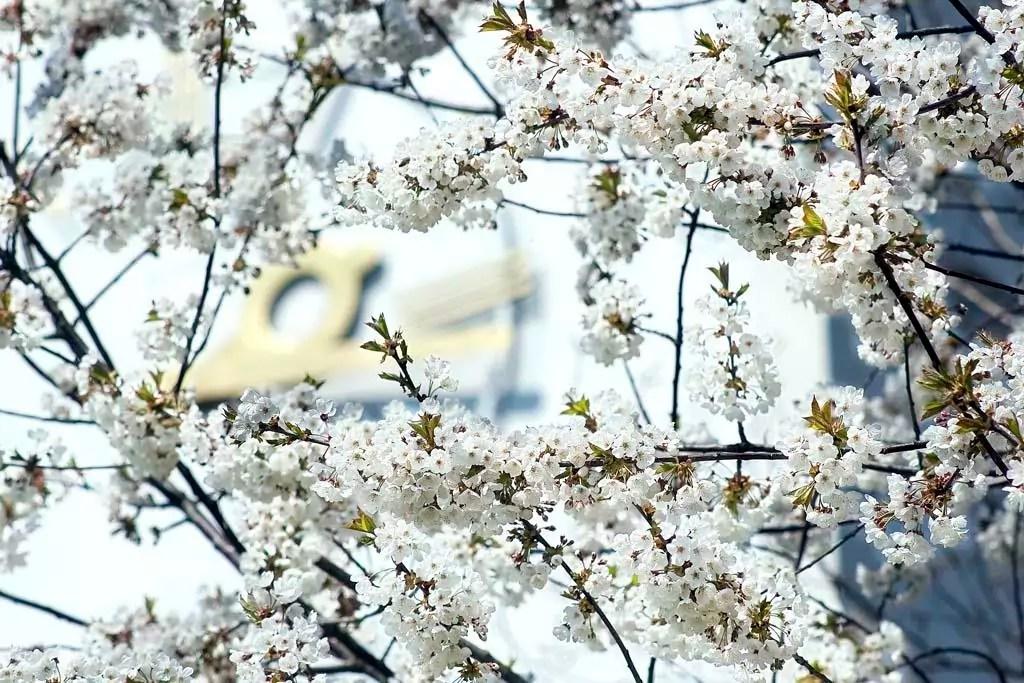 Weiß blühender Baum, im Hintergrund unscharf das Ziffernblatt der Uhr der Heilig Geist Kirche