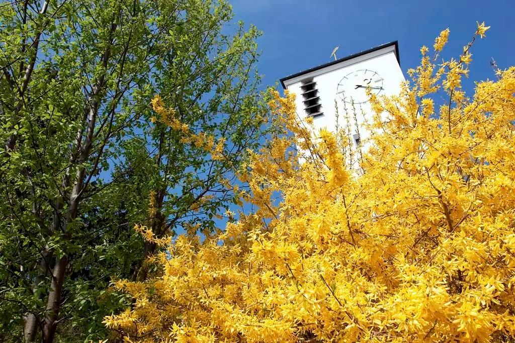 Gelb blühender Baum, im Hintergrund ist der Kirchturm der Heilig Geist Kirche zu sehen