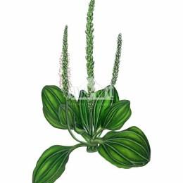 Babka zwyczajna (Plantago major)