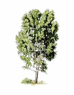 Brzoza brodawkowata (Betula pendula)