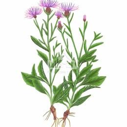 Chaber łąkowy (Centaurea jacea)