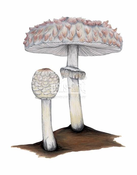 Czubajka czerwieniejąca (Chlorophyllum rachodes)