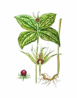 Czworolist pospolity (Paris quadrifolia)