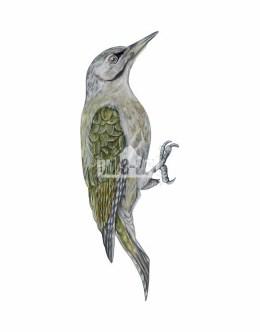 Dzięcioł zielonosiwy (picus canus)