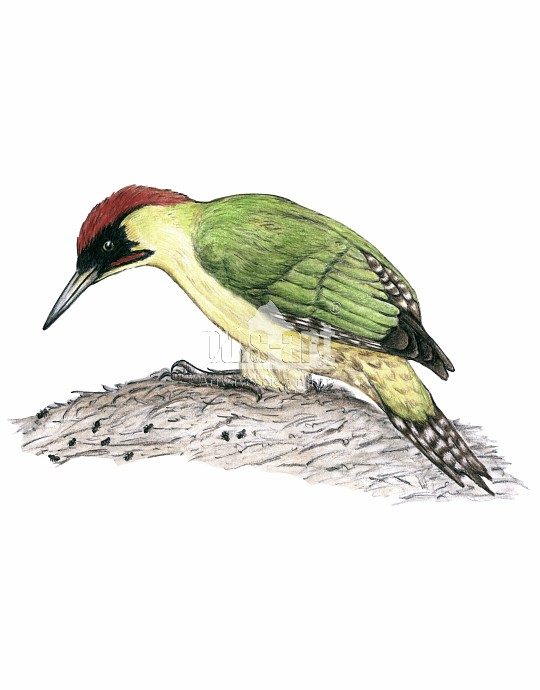 Dzięcioł zielony (Picus viridis)