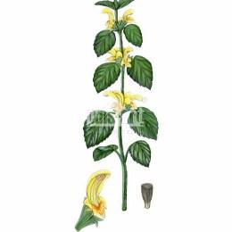 Gajowiec żółty (Galeobdolon luteum)