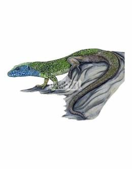 Jaszczurka zielona (Lacerta viridis)