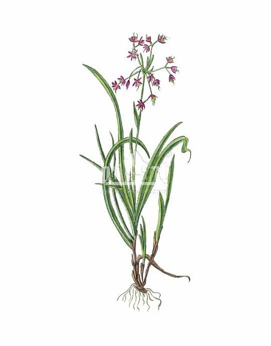 Kosmatka owłosiona (Luzula pilosa)