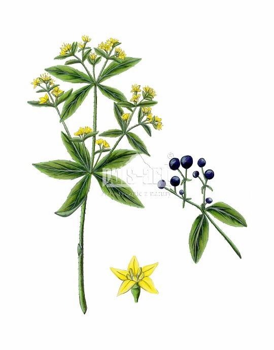 Marzana barwierska (Rubia tinctorum)
