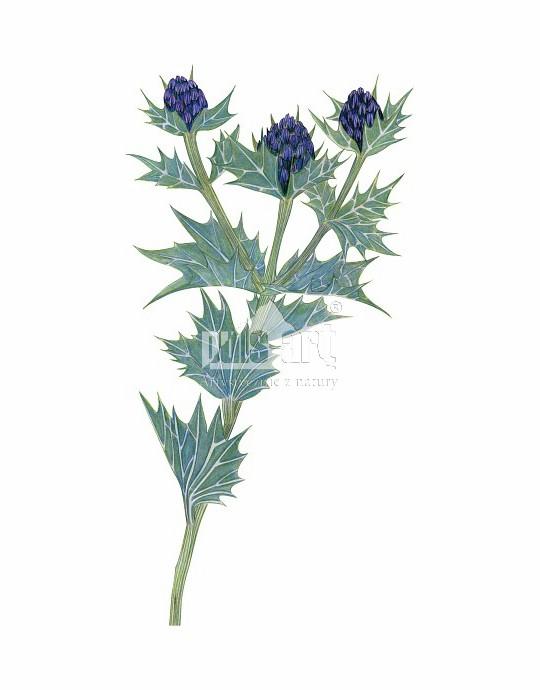 Mikołajek nadmorski (Eryngium maritimum)
