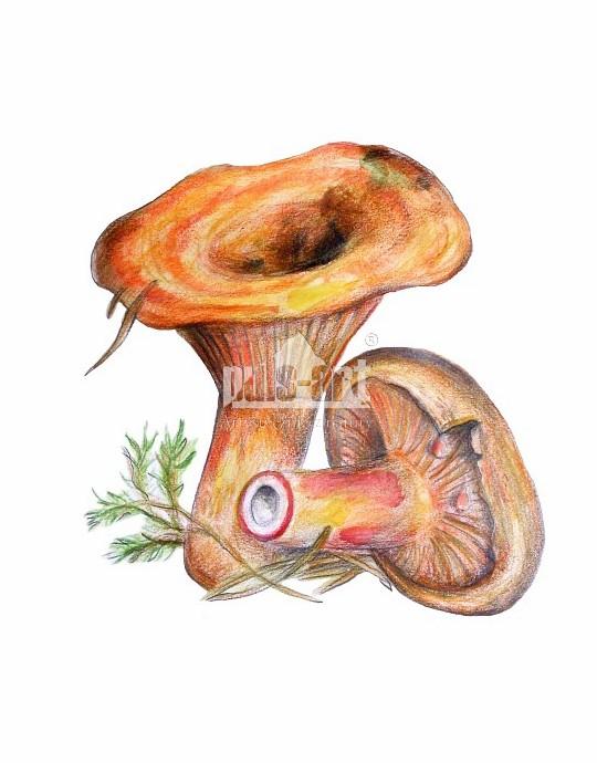 Mleczaj rydz (Lactarius deliciosus)