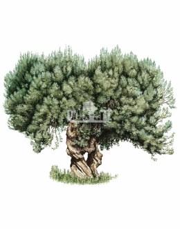 Oliwka europejska (Olea europaea)