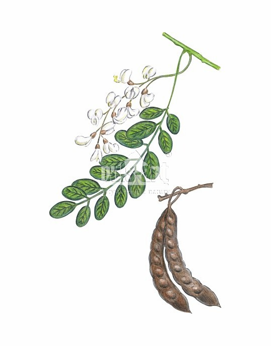 Robinia akacjowa (Robinia pseudoacacia)