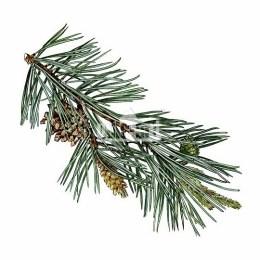 Sosna pospolita (Pinus sylvestris)