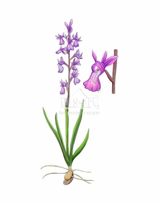 Storczyk błotny (Orchis palustris)
