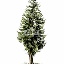 Świerk pospolity (Picea abies)
