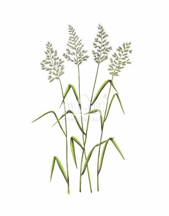 Trzcinnik prosty (Calamagrostis stricta)