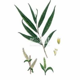 Wierzba krucha (Salix fragilis)