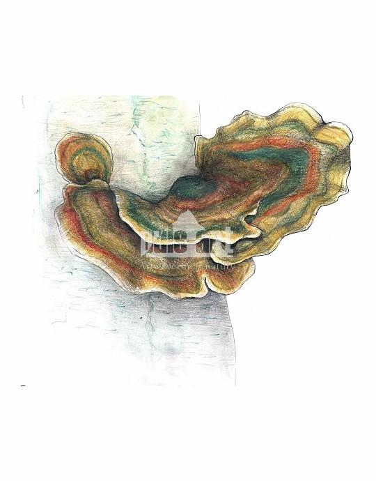 Wrośniak różnobarwny (Trametes versicolor)