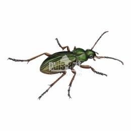 Biegacz złocisty (Carabus auratus)
