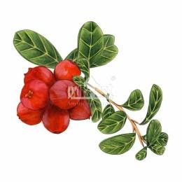 Borówka brusznica (Vaccinium vitis-idaea)