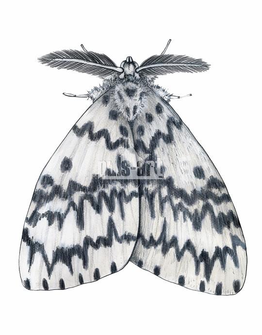 Brudnica mniszka (Lymantria monacha)