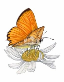 Czerwończyk dukacik (Lycaena virgaureae)