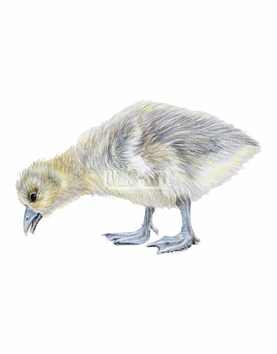 Gęgawa (Anser anser)