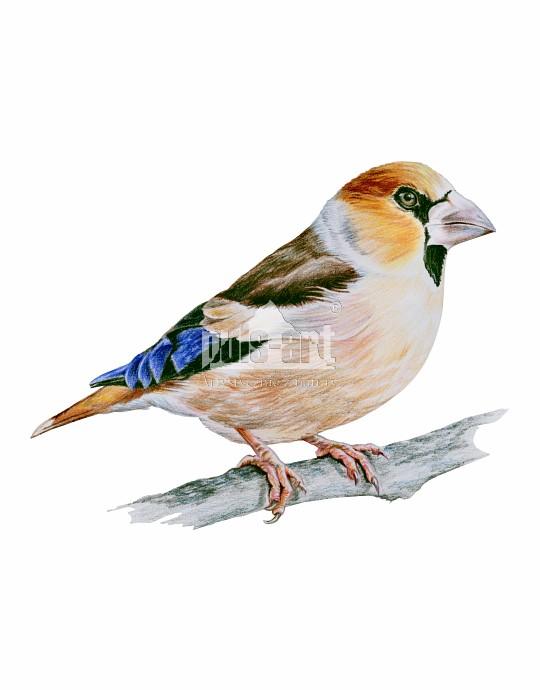 Grubodziób zwyczajny (Coccothraustes coccothraustes) - samiec