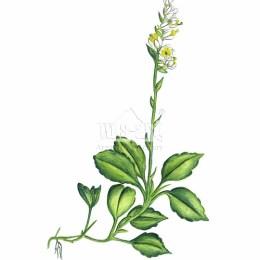 Gruszyczka jednostronna (Orthilia secunda)