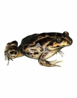 Grzebiuszka ziemna (Pelobates fuscus)