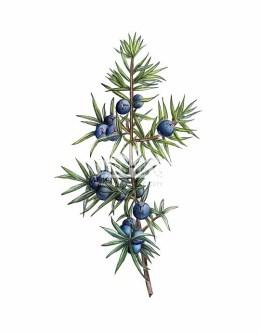 Jałowiec pospoilty (Juniperus communis)