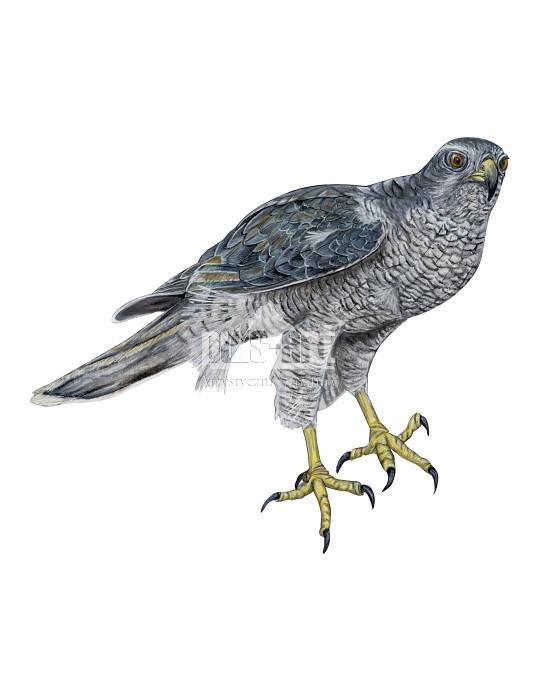 Jastrząb zwyczajny (Accipiter gentilis)