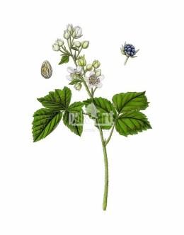 Jeżyna popielica (Rubus caesius)