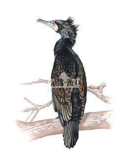 Kormoran zwyczajny (Phalacrocorax carbo)