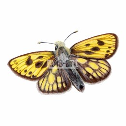 Kosternik leśniak (Carterocephalus silvicola)