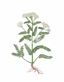 Krwawnik pospolity (Achillea millefolium)