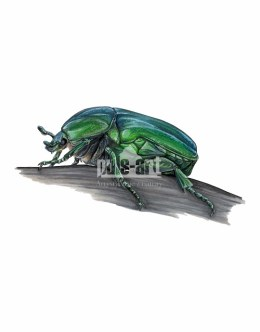 Kwietnica okazała (Protaetia speciosissima)
