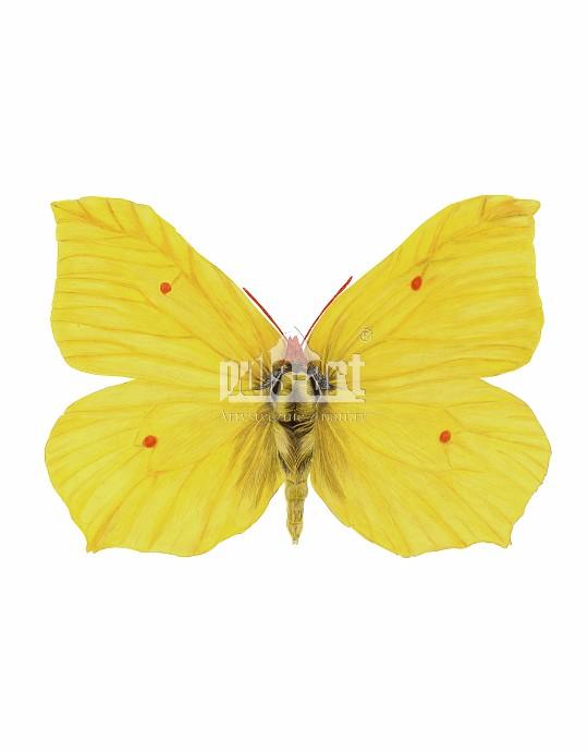 Latolistek cytrynek (Gonepteryx rhamni)