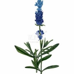 Lawenda wąskolistna (Lavandula angustifolia)