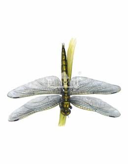 Lecicha pospolita (Orthetrum cancellatum)