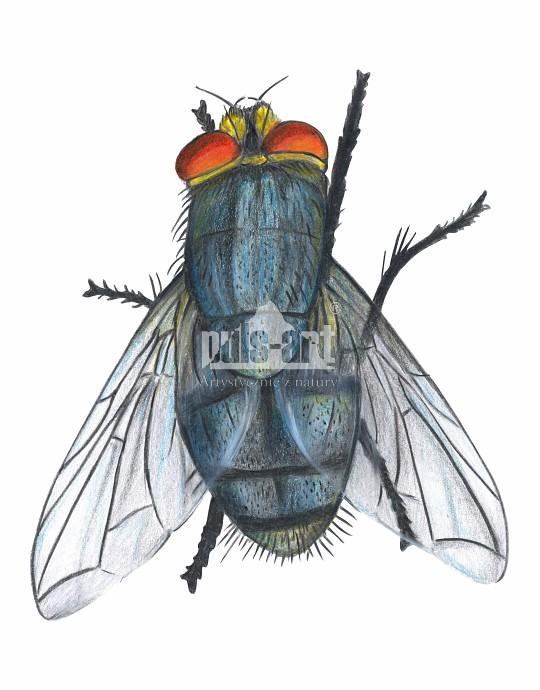 Mucha domowa (Musca domestica)