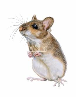 Myszarka leśna (Apodemus flavicollis)