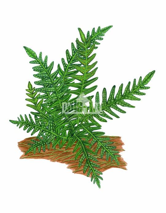Paprotka zwyczajna (Polypodium vulgare)