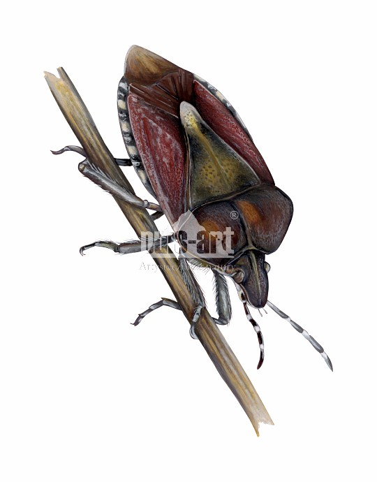 Plusknia jagodziak (Dolycoris baccarum)